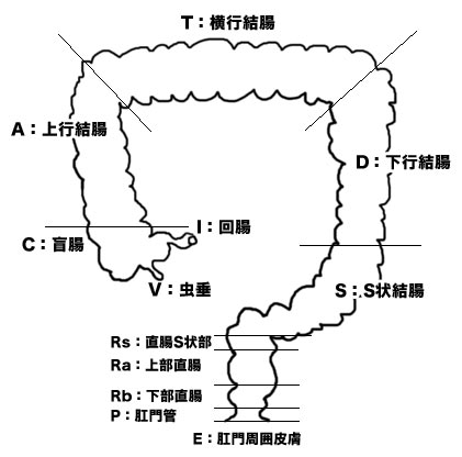 大腸解剖分類