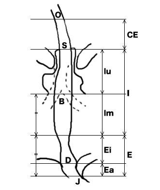 食道解剖分類